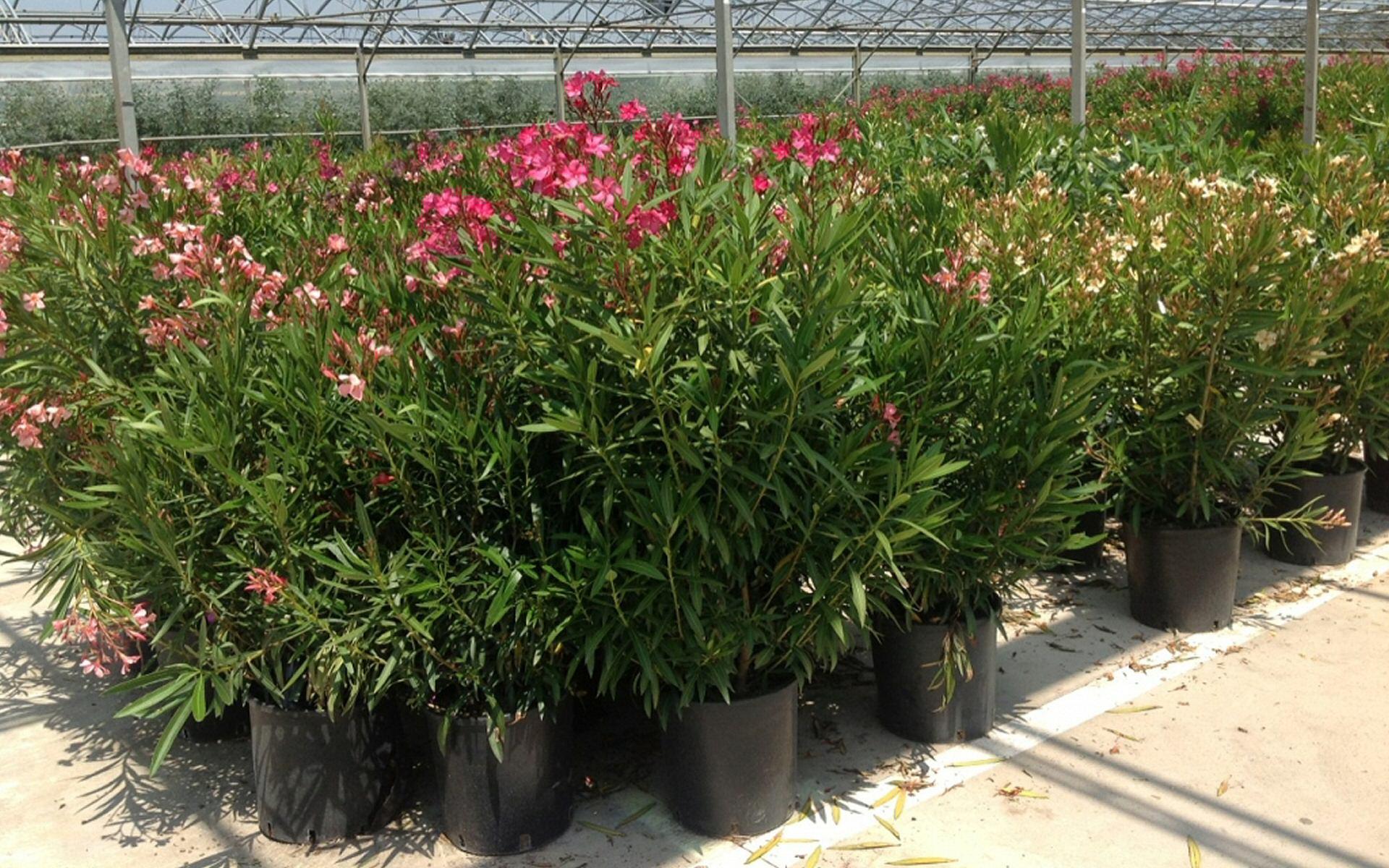 Adriatica piante produzione di piante mediterranee for Vivai piante